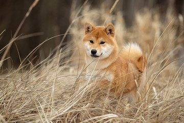 Wall Mural - Beautiful portrait of a Shiba dog in the autumn grass. The photo is of good quality.