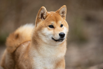 Fototapete - Beautiful portrait of a Shiba dog on the background of a forest. The photo is of good quality.