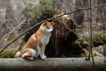 Wall Mural - Beautiful portrait of a Shiba dog on the background of a forest. The photo is of good quality.