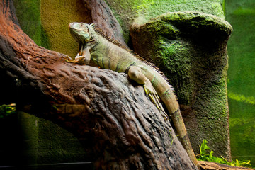 Garden Poster Chameleon Jaszczurka
