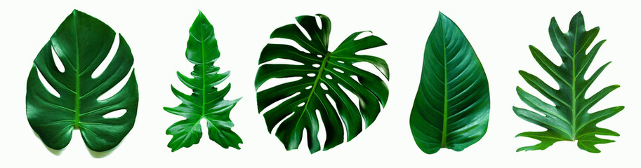 Wall Mural - set of green monstera palm and tropical plant leaf on  white background for design elements, Flat lay