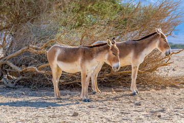 Onager is semi-domesticated donkey inhabits nature reserve parks in the Middle East