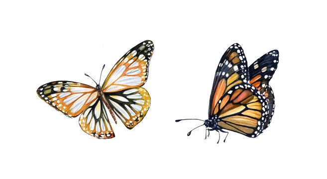Watercolor monarch butterfly. Hand painted set of summer illustrations. Realistic insect painting isolated on white. Detailed wings and orange body