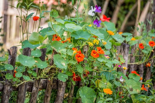 Nasturtium Climbing On Rustic Fence