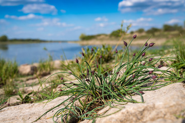 wild herbs at the riverside of the river elbe
