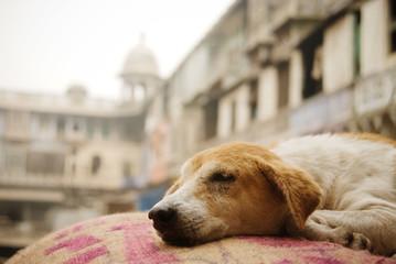 Dog sleeping on a burlap sack in the spice market, Delhi, India