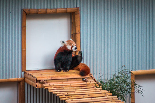 Red panda sitting next to a door to an indoor enclosure at the zoo