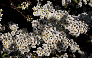 White flowers in nature.