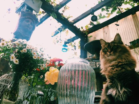 Maine Coon Cat Sitting By Flower Vase Against Sky