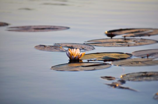 High Angle View Of Water Lily With Lily Pads Growing In Lake