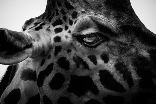 Cropped Image Of Giraffe
