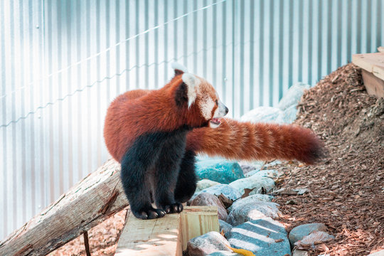 Red panda playing at the John Ball zoo on a summer day in Grand Rapids Michigan