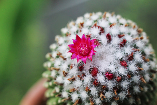 close up of pink flowers of green cactus with furry white