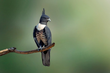 Image of Black baza (Aviceda leuphotes) perched on a branch on nature background. Falco. Bird. Animals.