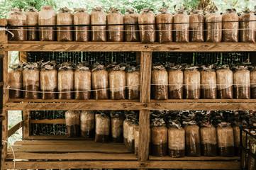 Mushroom spawns on bamboo wood shelf in Asian organic  mushroom farm.