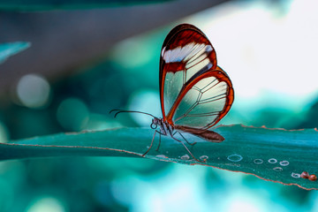 Stores photo Papillon Closeup beautiful glasswing Butterfly (Greta oto) in a summer garden.