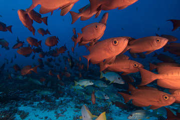 School of tropical red fish underwater in Fakarava, Tahiti, French Polynesia