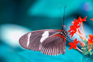Garden Poster Butterfly Beautiful heliconius butterfly sitting on flower in a summer garden