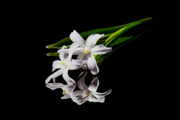 Foto op Canvas Lelie White fresh flower on a black background with reflection.