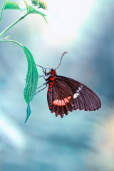 Poster Vlinder Beautiful heliconius butterfly sitting on flower in a summer garden
