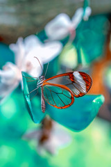 Closeup beautiful glasswing Butterfly (Greta oto) in a summer garden.
