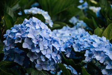 Zelfklevend Fotobehang Hydrangea Close-up Of Blue Hydrangea Flowers