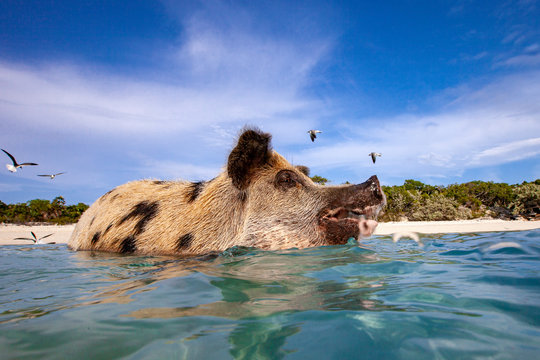 Swimming pig in the Bahamas, Pig Island