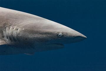 Oceanic white tip shark head at very close range