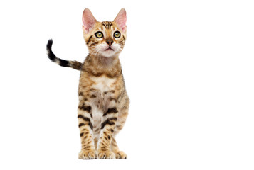 Fototapete - striped kitten stands on a white background