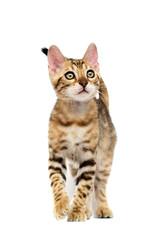 Fototapete - striped kitten goes on a white background