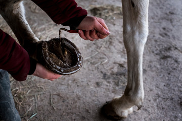 High angle close up of person cleaning hoof of white horse.