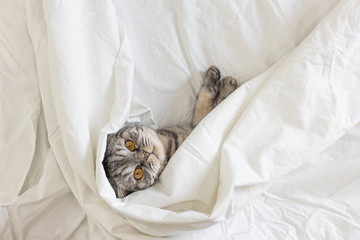 A gray scottish fold cat lies on a bed in a sheet.