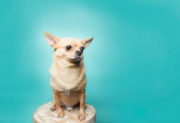 Tan chihuahua sitting on stool on aqua background, clean modern