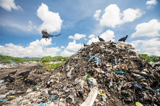 Vultures scavenge for food at the local dump.