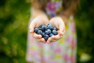 Handful of Freshly Picked Blueberries from a Blueberry Farm