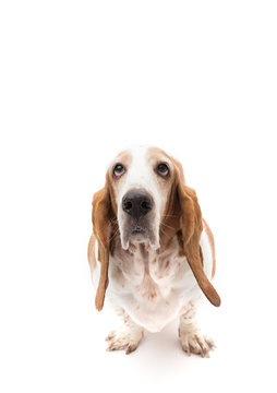 Red and white Bassett hound on stark white background looking up