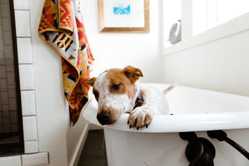 white and tan puppy tries to escape bathtub in well designed bathroom