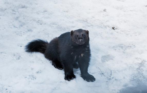 Wolverine sat in the snow in Sweden