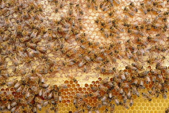 Le api sul favo con il miele