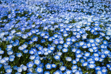 Blue Nemophila flowers in the garden