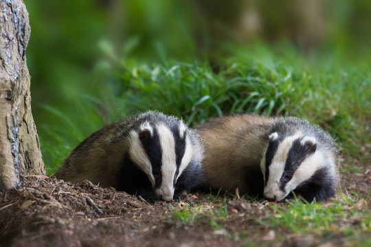 Two Badgers In The Wild