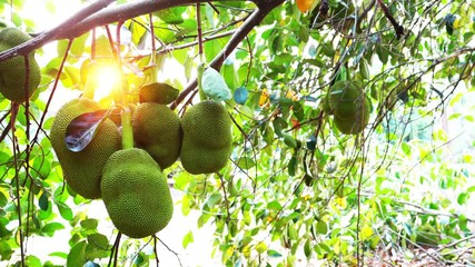Fototapete - Group of Jackfruits hanging on the tree moving against the light of sunset in summer season.