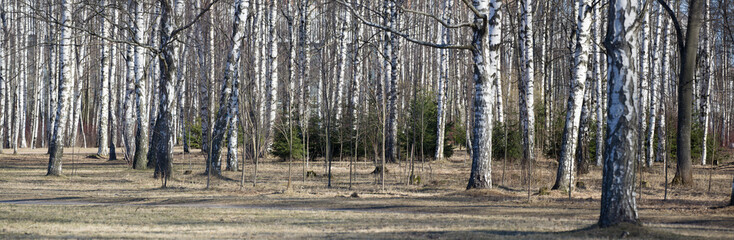 bare birch tree trunks panorama