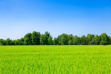 Fototapeten Lime grun 田んぼと森と空