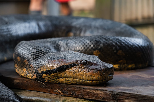 close up of an anaconda snake