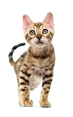 Fototapete - Bengal kitten goes and looks forward on a white background