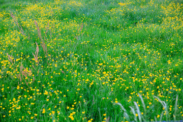 Foto auf Acrylglas Grun Spring meadow with yellow buttercups and grass.