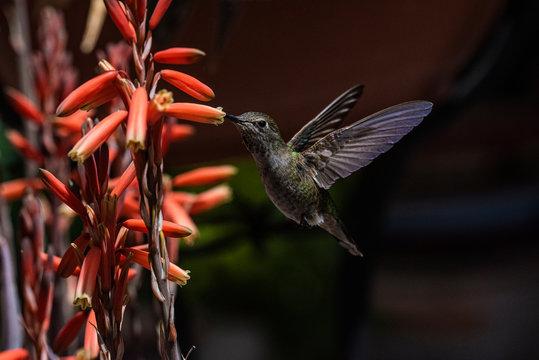 Anna's Hummingbird (calypte Anna) Feeding on Aloe Vera in Flight