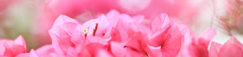 Spoed Fotobehang Candy roze Close up nature beautiful view pink Bougainvillea on blurred greenery background under sunlight with bokeh and copy space using as background natural plants landscape, ecology cover page concept.