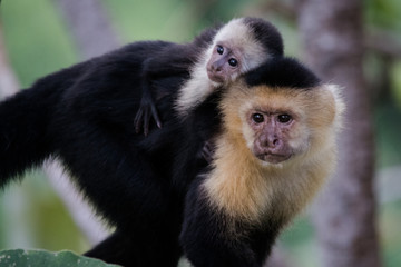 Photo sur Plexiglas Singe Capuchin monkey